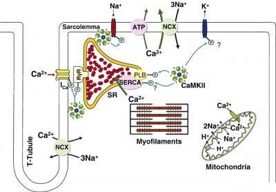 Quelques acteurs des navettes de Ca2+ dans le muscle cardiaque